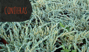 juniperus-squamata-blue-carpet