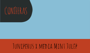 juniperus-x-media-mint-julep