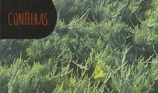 juniperus-x-media-pfitzeriana-glauca